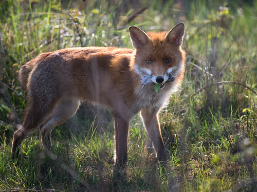 Fox-with rodent and salad breakfast