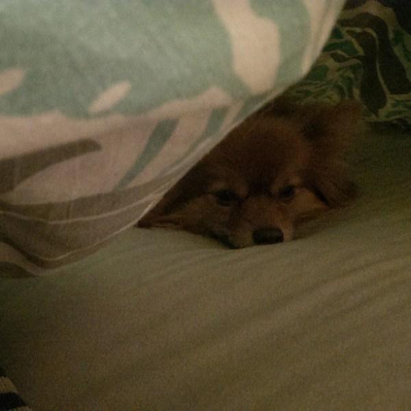 Undercover pupper #pomeranian #pomsofinstagram #sleepydogsofinstagram #blanketfort