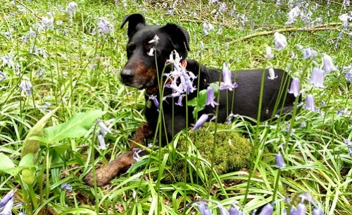 Minnie surrounded by bluebells