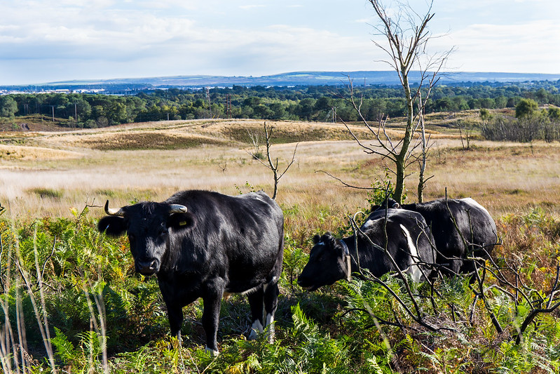 We met the cows on Upton Heath