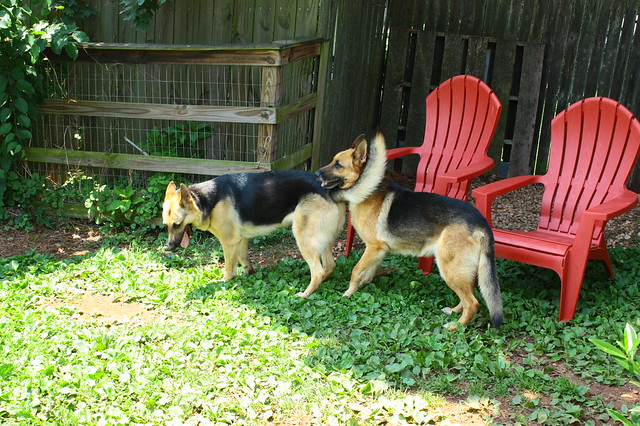 More dogs in the yard