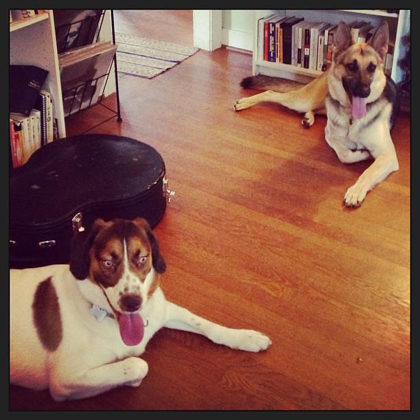 Dog sitting Roland for the week! Pyrrha loves having her BFF around. #puppylove