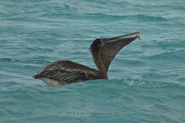 pelican 0000 Sian Kaan beach, Quintana Roo, Mexico