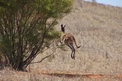 shy kangaroo
