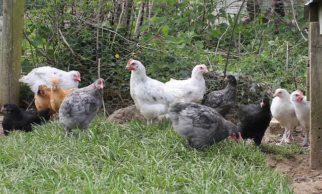 chicks at 7 weeks