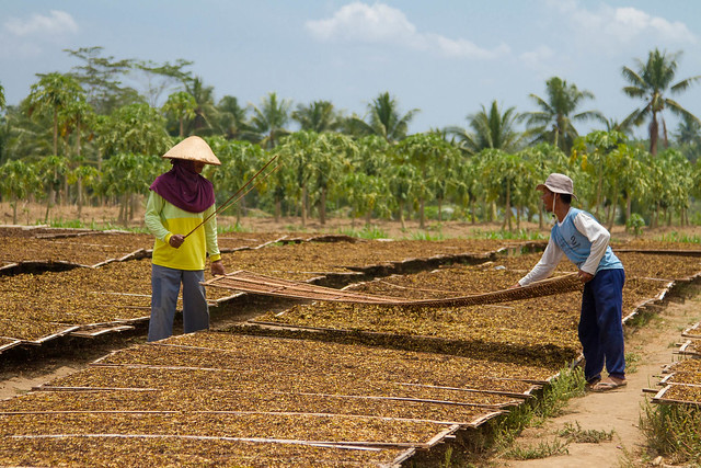 Drying Tobacco, Candirejo Village, Borobudur