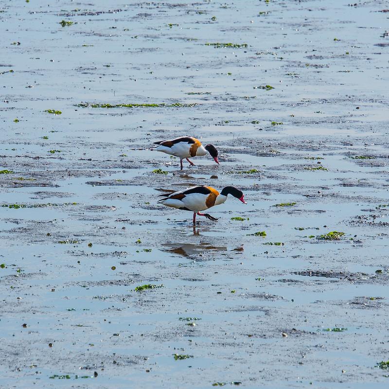 Shelducks feeding at low tide