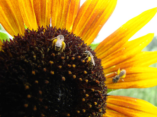 SunflowerFlies