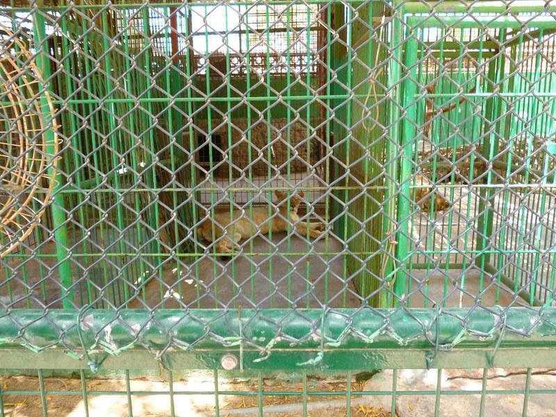 Dubai lioness