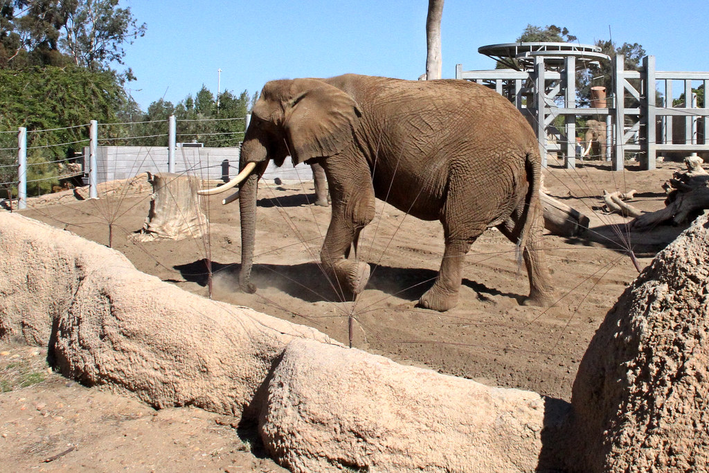 Shuffling elephant