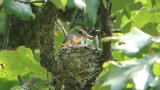 Eastern Wood-Pewee with Nestlings by Andy Reago & Chrissy McClarren
