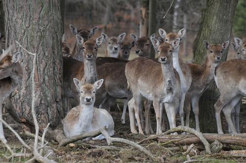 Europäische Damhirsche  im Skandinavisk Dyrepark in Kolind