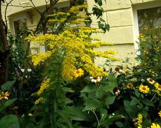 Goldruten und Staudensonnenblumen