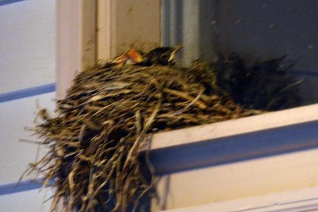 Baby Birds (Front)