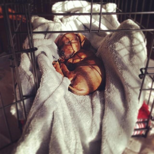 My sleeping baby boy! #doxie #dachshund #weeniewithaweenie