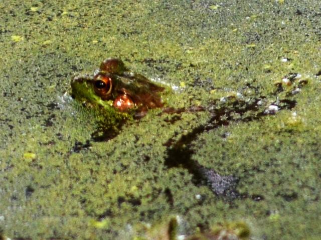 Frog…in a Bog