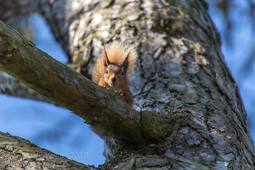 Red Squirrel photo opportunity
