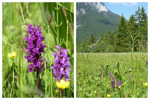 Orchideen im Ammertal 2013-06-1612