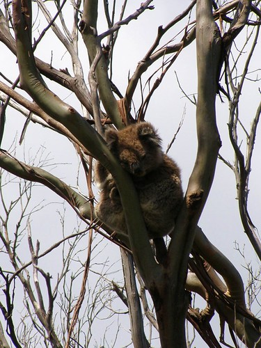 Koala on the Great Ocean Road