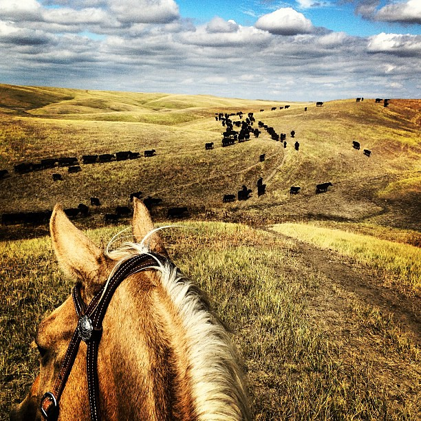 My Saturday involves cattle and a gorgeous yellow horse! #ranchlife #ranchhorses #ilovehim #agrowlife #ig_fv #luckygirl