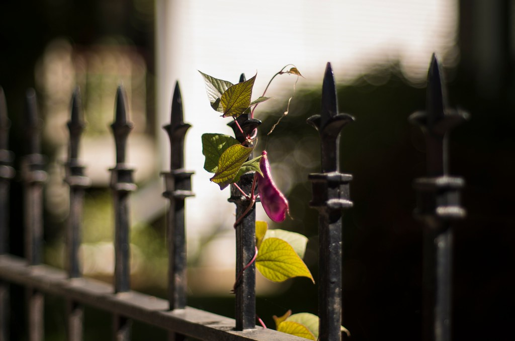 Vine and Fence