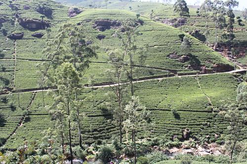 20130118_7708-Macwoods-tea-plantation copy