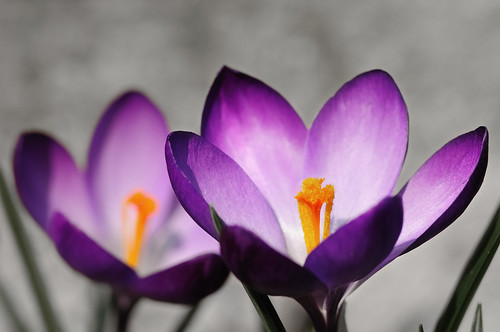 Frühlingsboten by OK's Pics