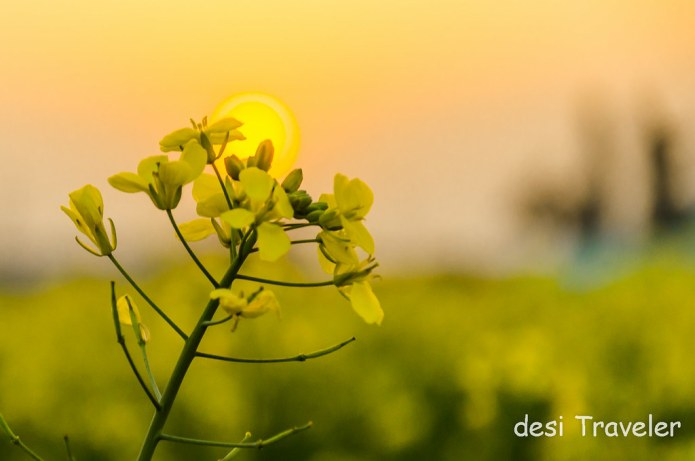 Yellow Color mustard flower with sun behind