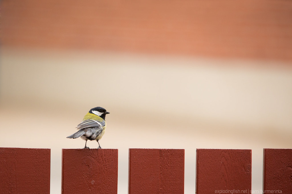 Great tit on a red fence