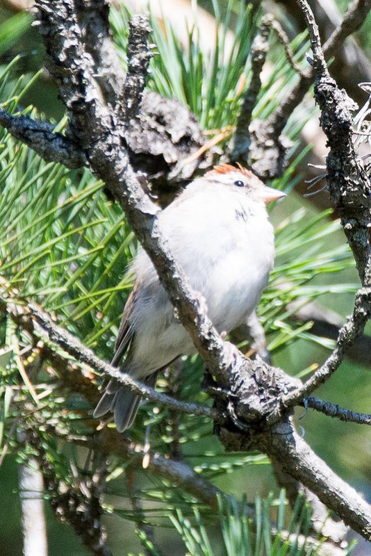 _DSC3297 Chipping Sparrow