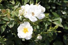 Rose garden adelaide