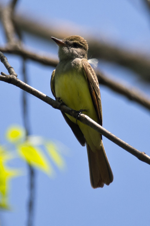 _DSC9261 Great Crested Flycatcher