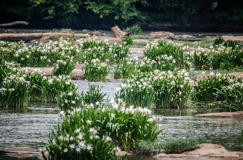 Lansford Canal Spider Lilies-37