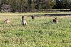 Kangaroos Heirisson Island