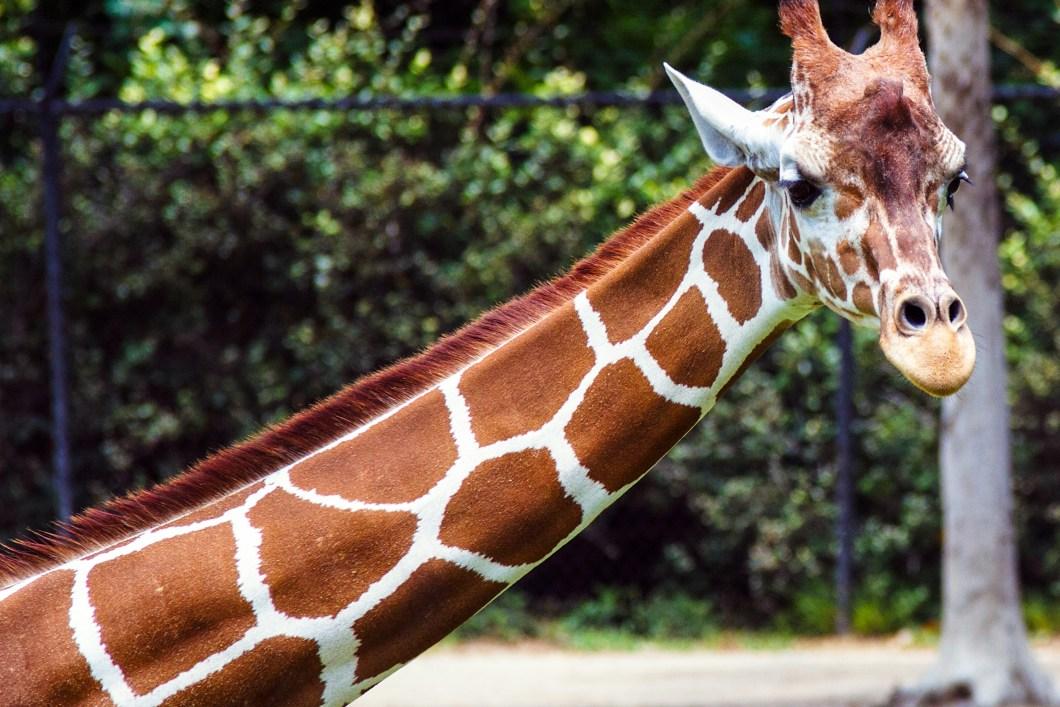 foto gratis de una jirafa de perfil