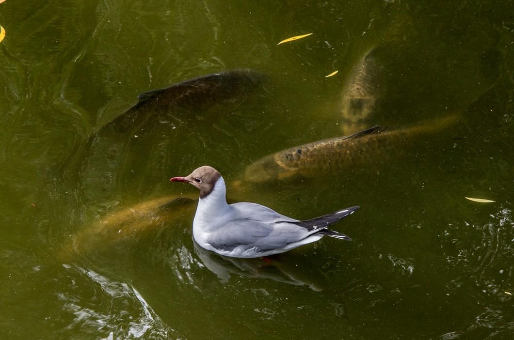 Imagen gratis de un pato nadando sobre peces