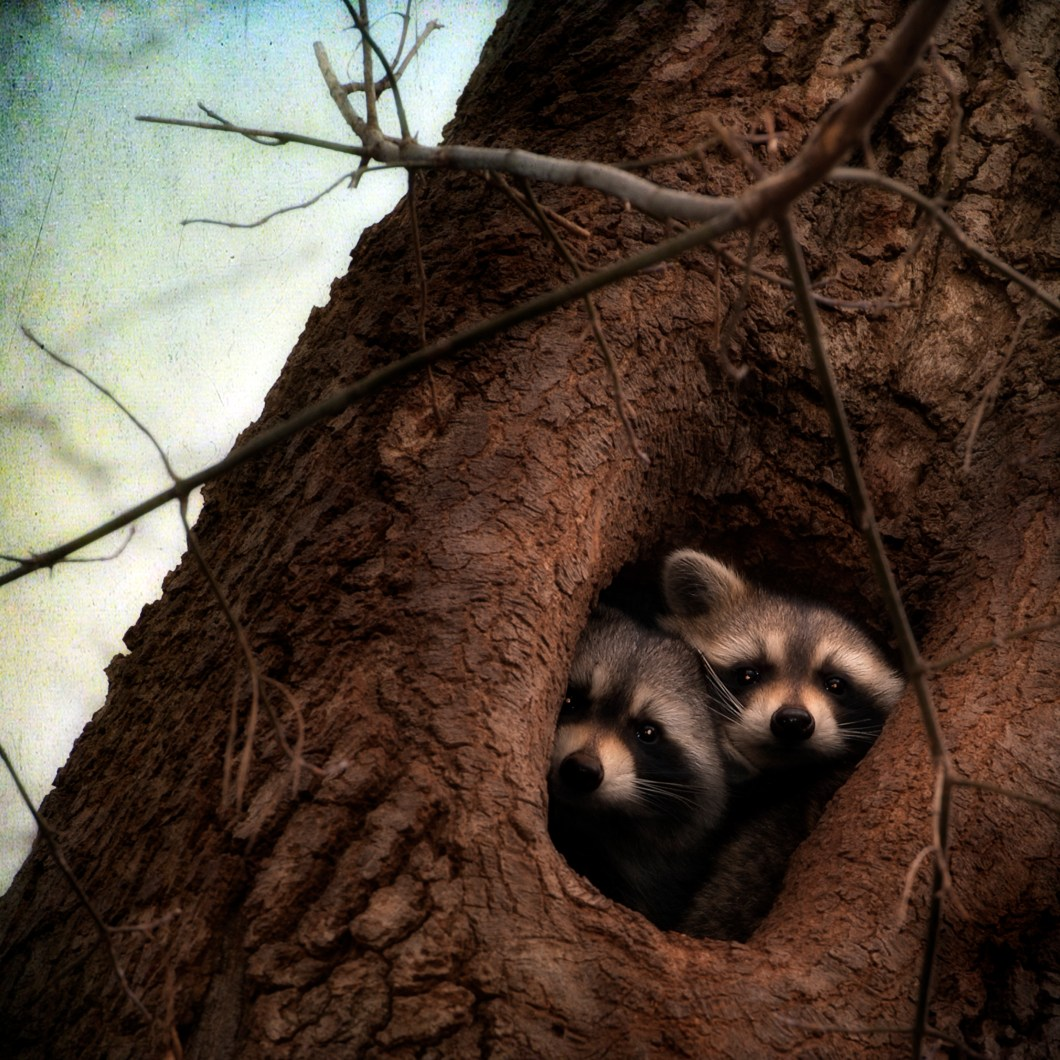 dos mapaches en un árbol