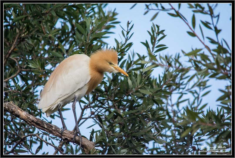 Cattle Egret #3