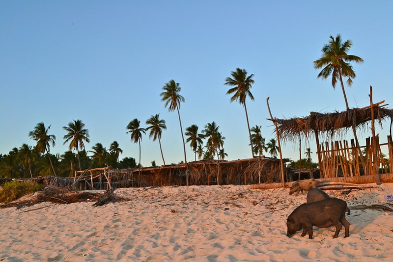 Pigs and Palms