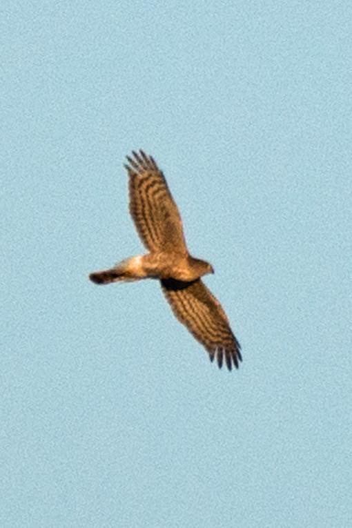 _DSC8063 Red-shouldered hawk
