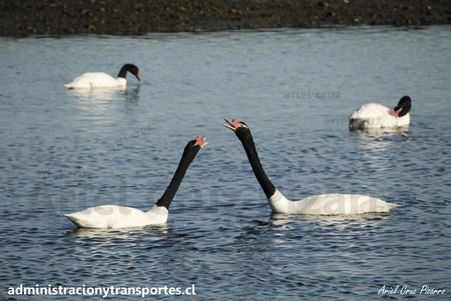 Cisnes de cuello negro (Cygnus melancoryphus) / Caulín, Chiloé