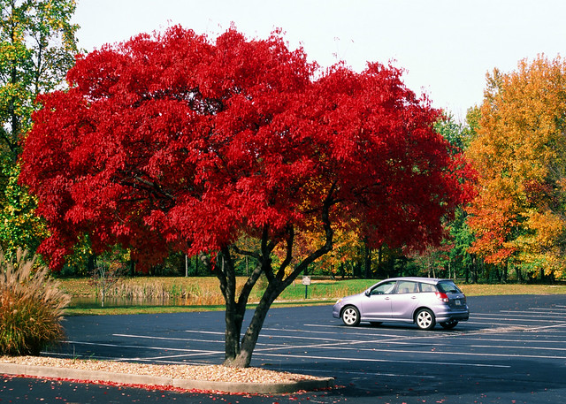 Red tree parking lot