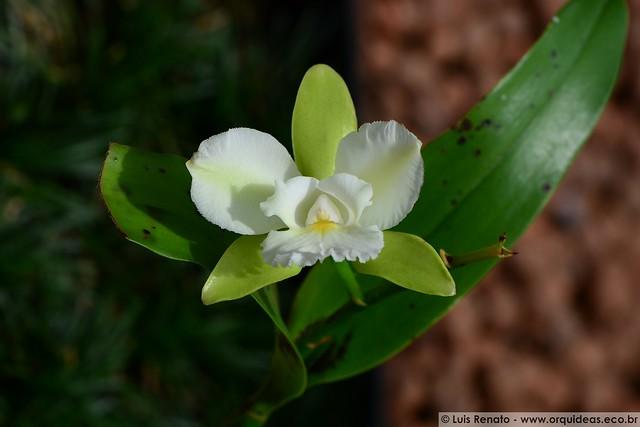 1289 - Epicattleya Siam Jade