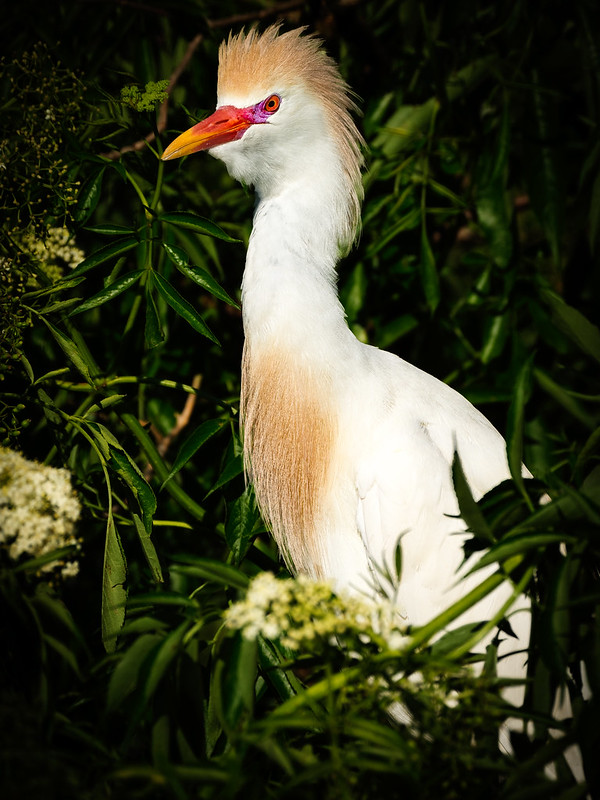 Colorful Cattle Egret