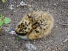 Arctic Tern chick (2)