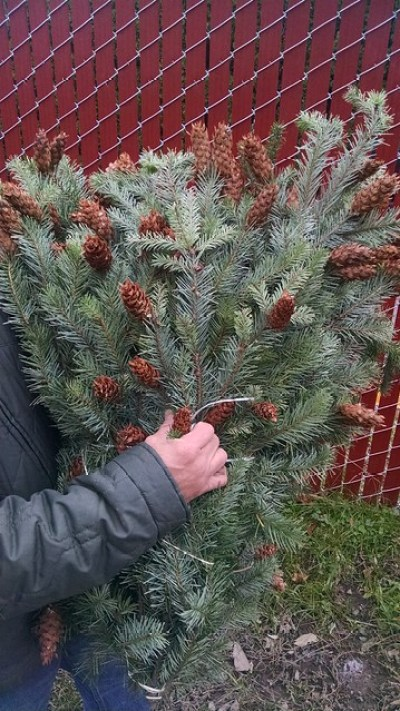 douglas fir boughs with cones