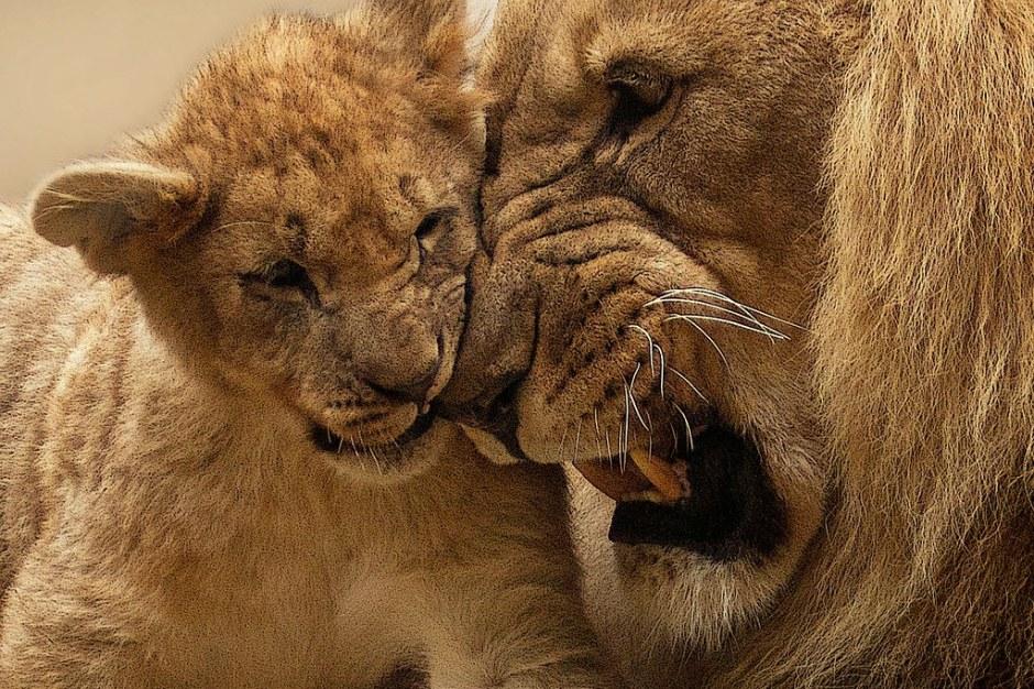 lion-565818_1280