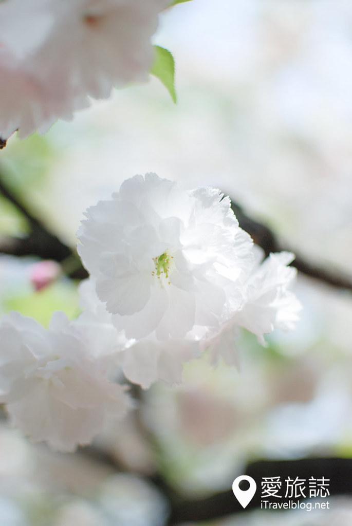 大阪造幣局 櫻花 52