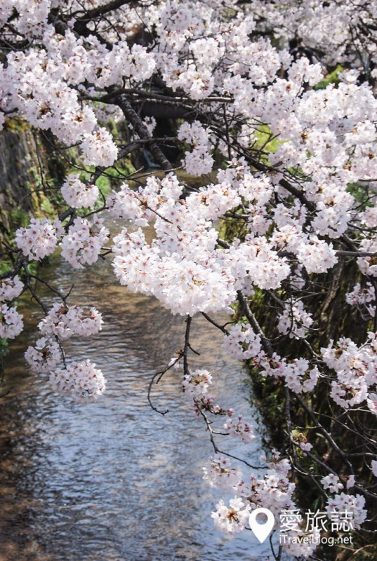 京都赏樱景点 哲学之道 33