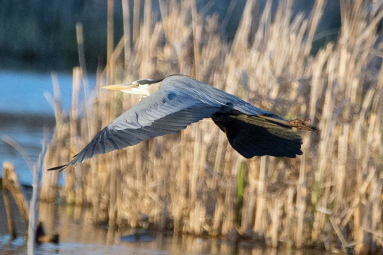 _DSC8104 Great Blue Heron
